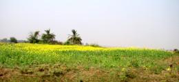 Crop (mustard) in the field of Maluti