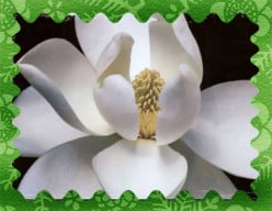 Magnolia-opus 2