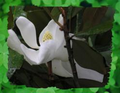 Magnolia-opus 4