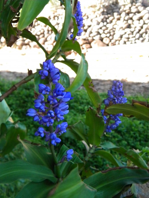 Spending more time in the yard was rewarded with this blue ginger!