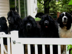 Life With Over 600 pounds of Newfoundland Dog