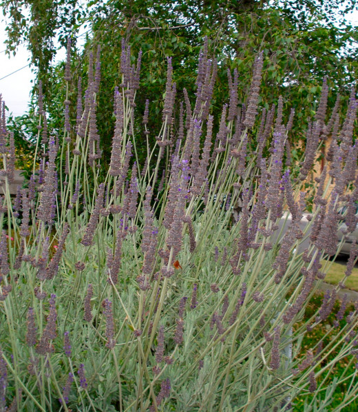 Lavender Bush in the Garden