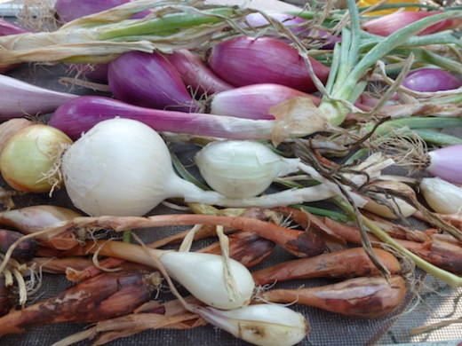 You have more variety starting from seed. Onions are heavy feeders and require plenty of water.