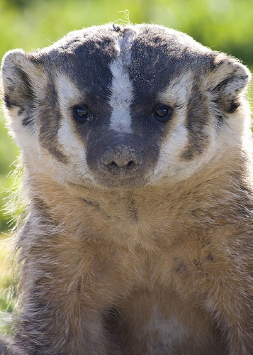 Animal Spirit Guides Meanings: Beaver, Badger, and Skunk