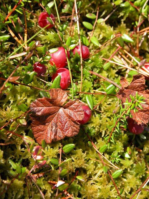 Cranberries growing wild in the swamp