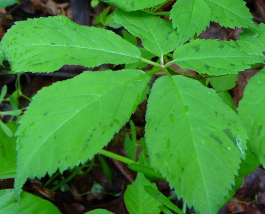This is a picture of what to look for when seeking out Ginseng. Leaves are oval shaped with jagged edges.