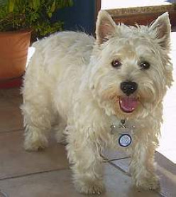 Sweet Tart Skippy Looked Like This Westie