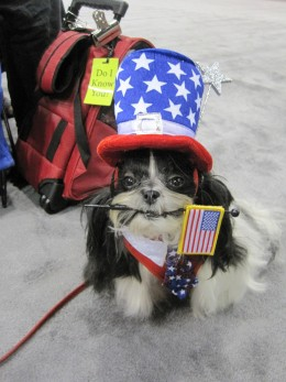 Cute Shih Tzu dog dressed up for the 4th of July holiday!