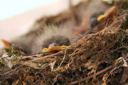Phoebes in the nest.