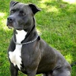 American Staffordshire/Pit Bull Terrier