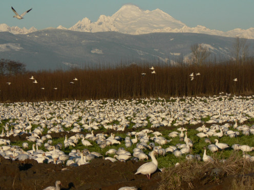 Lesser Snow Geese gathering at Mount Baker