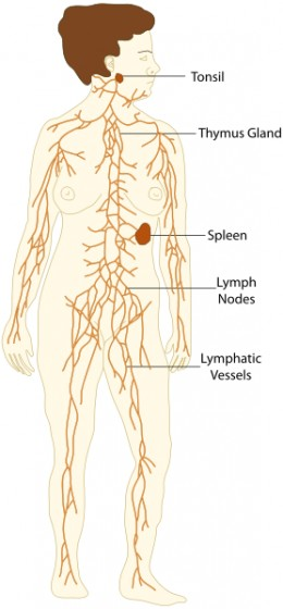 The spleen is part of the lymphatic system of the body.