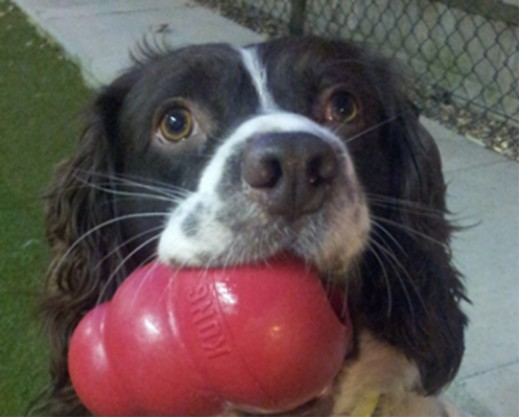 Kong toys are great for training since they are durable.