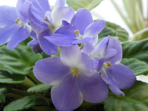 Purple African Violet