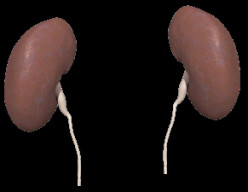 Maintenance Tips for Healthy Kidneys