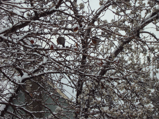 Robins in the tree with snow on it.