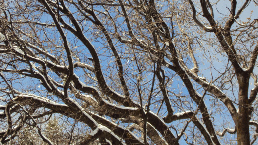 Snow piles on the branches of oak tree in the San Bernardino Mountains.