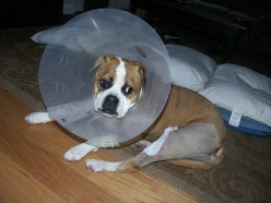 How To Fix A Luxating Patella (Trick Knee) In A Dog Without Surgery