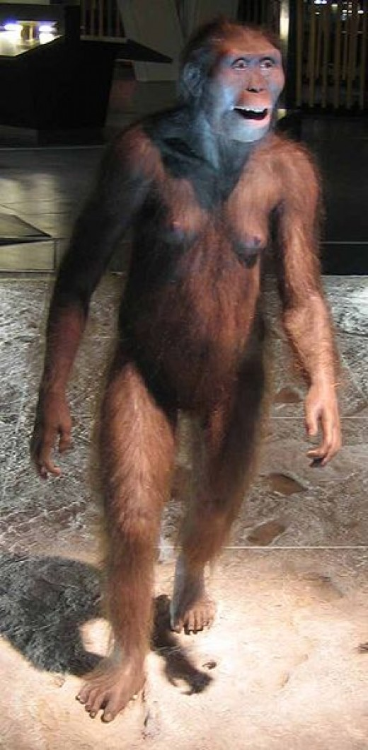 A very good reconstruction of a species of Australopithecus, known as Afarensis.