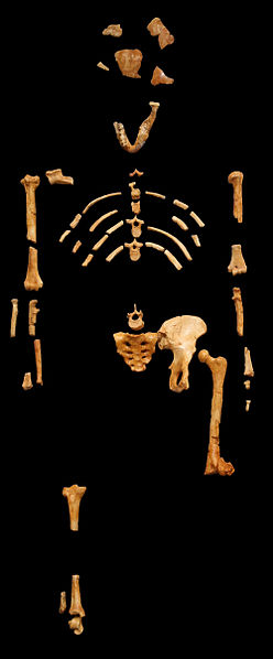 This is a cast of the Lucy skeleton, found in 1974 and named after the song playing on the radio at the time 'Lucy in the Sky with Diamonds.'