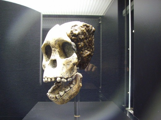This is the fossilised skull of the 'Taung Child' found in South Africa by Raymond Dart in 1924. This was the fossil that vindicated Darwin's belief that we all have African origins.