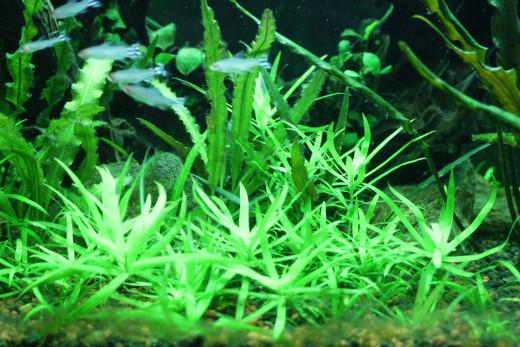 Stargrass in strong light