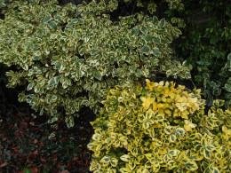 Two types of euonymus compliment each other