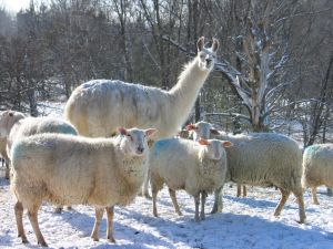 Winter in Vermont with sheep and llama.