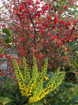 Mahonia and cotoneaster