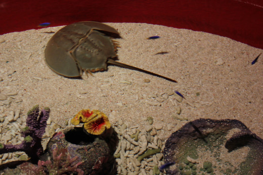 The Horseshoe crab exhibit grabs your attention as soon as you enter the Aquaria. It's an open air exhibit that allows children to touch some of the gentler inhabitants like Starfish,etc.