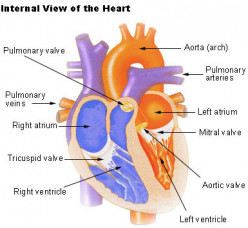 OCR Biology Revision - Part 5 - The Heart