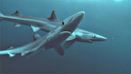 The Stealthy, Primitive and Endangered Shark. As of 2011, The International Union for the conservation of Nature lists 143 Species  of sharks as endangered.