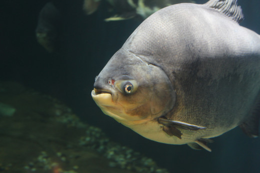 Pacu - from the same family as the dreaded Piranhas,though Pacus are omnivorous and have flatter teeth and can grow much larger upto 3 ft.