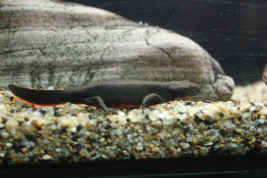 A Salamander in it's display tank. Salamanders are amphibians,living in wetlands.One of their unique aspects is their ability to regenerate lost limbs.