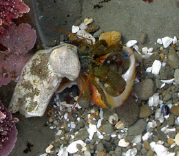 Two Hermit Crabs Fighting Over A Shell.