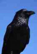 Largest of the family: the Raven is both admired and feared.