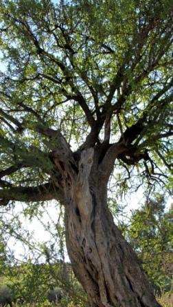 The argan tree. Argan oil is extracted from the nuts of this tree's fruit.