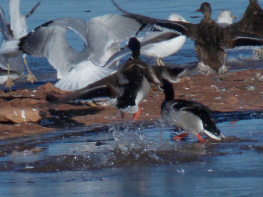 Ring-billed Gulls and Mallards
