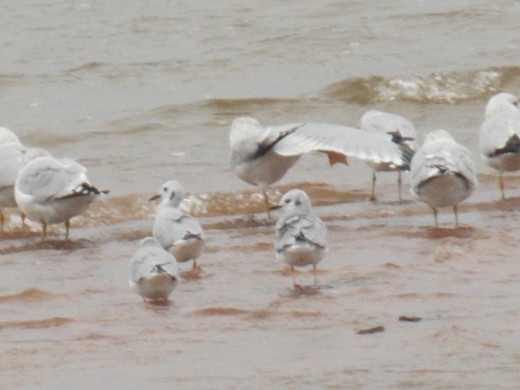 Three Bonaparte's Gulls(bottom) with Ring-billed Gulls(top