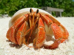 A Beautiful Specimen Of A Strawberry Hermit Crab