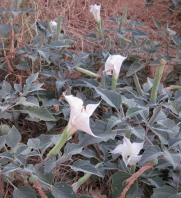 Jimson Weed in September. Can be used to produce a highly narcotic drink which can be fatal.  Photo taken with Canon PowerShot A1100 IS