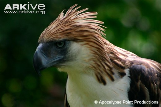 The Philippine Eagle - The largest eagle in the world and the national bird of the Philippines, lives in Lake Sebu tropical forest, ancestral home of the T'boli tribe and five other native communities.