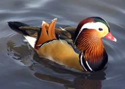 The Mandarin Ducks of the East