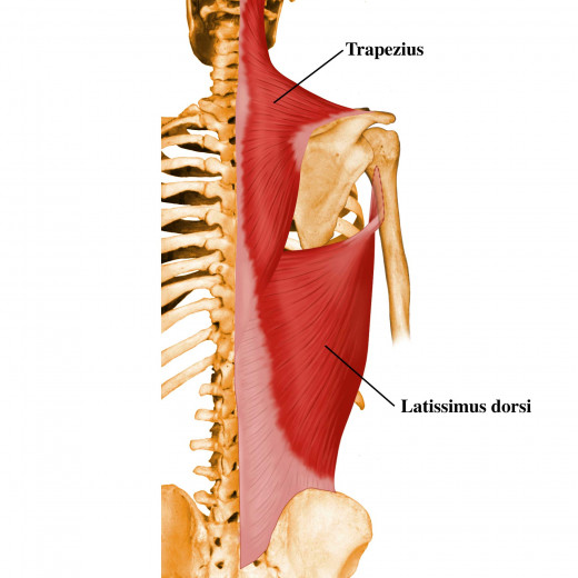The right trapezius (top) and latissimus dorsi (bottom).  These muscles have mirror images on the right and left side of the spine.