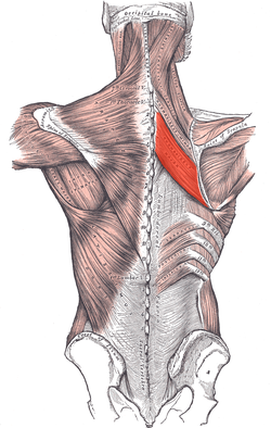 The rhomboideus major, with its companion muscle just above, the rhomboideus minor.  Together these muscles are responsible for the any motion in which you pull something directly towards you, such as rowing.