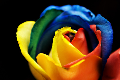 the  different colors of roses symbolizes different  meanings which are useful to know.