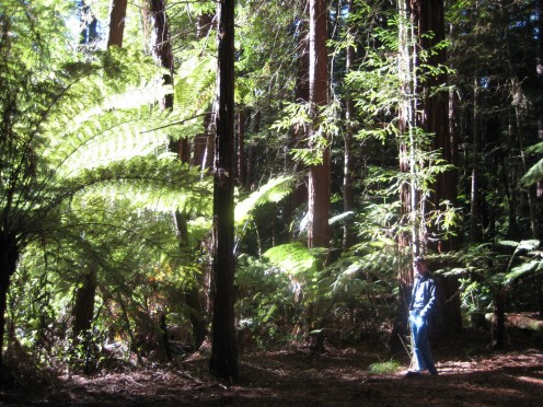 Walking in the cool Redwood Forest, Rotorua, New Zealand