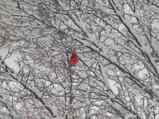 A Red Cardinal enjoys a moment of solitude on a cold, Indiana morning.