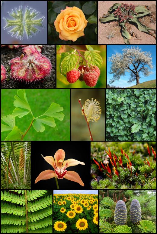 Plants show a tremendous diversity but all share a few common characterisitics.