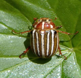 "Ten-lined June Beetle ""six-legged aristocrat"""